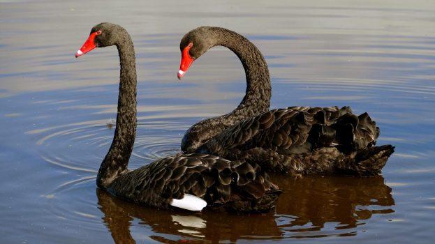 Zwarte-zwanen